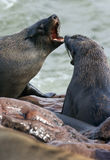 Lobo-marinhos do cabo Imagem de Stock Royalty Free