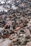 Lobo-marinhos do cabo na cruz do cabo em Namíbia Fotos de Stock Royalty Free