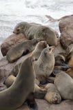 Lobo-marinhos do cabo na cruz do cabo em Namíbia Fotografia de Stock Royalty Free