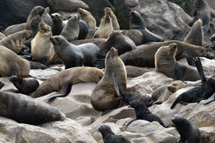 Lobo-marinhos do cabo, Namíbia Fotografia de Stock Royalty Free