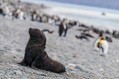 Lobo-marinhos em planícies de Salisbúria, Geórgia sul fotografia de stock royalty free