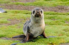 Lobo-marinhos em planícies de Salisbúria, Geórgia sul fotos de stock royalty free
