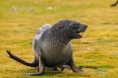Lobo-marinhos em planícies do ` s Salisbúria de Geórgia sul fotos de stock royalty free