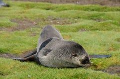 Lobo-marinhos em planícies do ` s Salisbúria de Geórgia sul imagem de stock