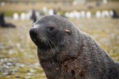 Lobo-marinhos em planícies do ` s Salisbúria de Geórgia sul imagem de stock royalty free