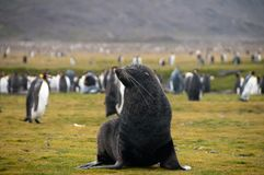 Lobo-marinhos em planícies do ` s Salisbúria de Geórgia sul foto de stock royalty free