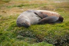 Lobo-marinhos em planícies do ` s Salisbúria de Geórgia sul imagens de stock royalty free