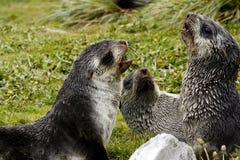 Lobo-marinhos novos foto de stock royalty free