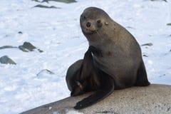 Lobo-marinhos que sentam-se nas rochas Fotografia de Stock Royalty Free