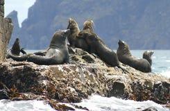 Lobo-marinhos, Tasmânia, Austrália foto de stock