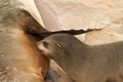 Lobo marino Foto de archivo