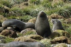 Lobo marino Fotos de archivo libres de regalías
