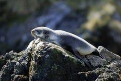 Lobo marino Fotografía de archivo libre de regalías