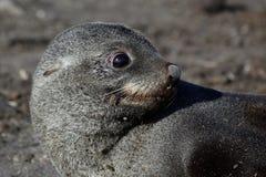 Lobo marino antártico en la playa, Ant3artida Foto de archivo libre de regalías