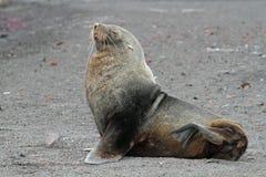 Lobo marino antártico en la playa volcánica, Ant3artida Fotos de archivo