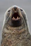 Lobo marino antártico que se divierte sus barbas de registro Fotos de archivo