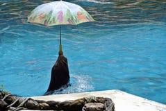 Lobo marino con el paraguas Fotos de archivo