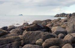 Lobo marino de bostezo en una roca grande Fotografía de archivo