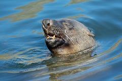 Lobo marino de Brown Fotos de archivo