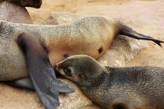 Lobo marino de Brown (pusillus del Arctocephalus) Imagenes de archivo