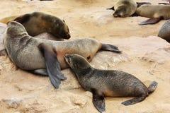 Lobo marino de Brown (pusillus del Arctocephalus) Fotos de archivo