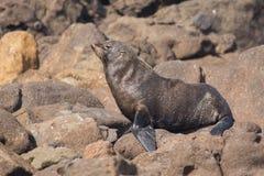 Lobo marino de Nueva Zelanda imagen de archivo