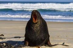 Lobo marino de Nueva Zelanda Imágenes de archivo libres de regalías