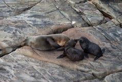Lobo marino de Nueva Zelanda, forsteri del Arctocephalus, lobo marino con nariz alargada con su perrito del beb? Lobo marino Aust imágenes de archivo libres de regalías