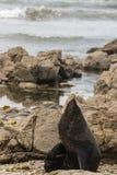 Lobo marino de Nueva Zelanda que rasguña y que toma el sol Imagen de archivo
