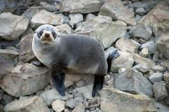 Lobo marino de Nueva Zelandia Fotos de archivo libres de regalías