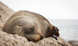 Lobo marino de Nueva Zelandia Imagen de archivo libre de regalías