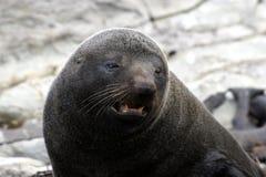 Lobo marino de Nueva Zelandia imagenes de archivo