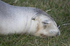 Lobo marino de Nueva Zelandia en hierba Fotos de archivo libres de regalías