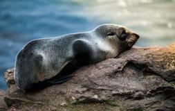 Lobo marino de Nueva Zelandia en roca Foto de archivo