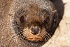 Lobo marino de Nueva Zelandia, forsteri del Arctocephalus Fotografía de archivo libre de regalías