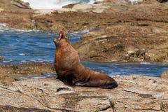 Lobo marino de Nueva Zelandia, forsteri del Arctocephalus Imágenes de archivo libres de regalías