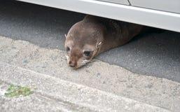 Lobo marino del bebé debajo del coche Foto de archivo