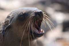 Lobo marino del cabo Fotografía de archivo