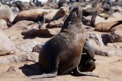 Lobo marino del cabo Fotos de archivo libres de regalías