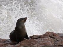 Lobo marino del cabo con un chapoteo Imagen de archivo libre de regalías