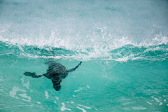 Lobo marino del cabo que practica surf las ondas Fotos de archivo