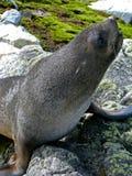 Lobo marino del sur en las rocas Fotos de archivo