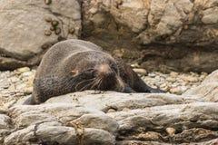 Lobo marino el dormir Imagen de archivo