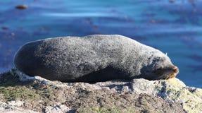Lobo marino el dormir Nueva Zelandia. Imagen de archivo