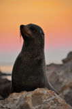 Lobo marino en puesta del sol Foto de archivo libre de regalías