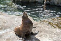 Lobo marino en una roca grande Fotografía de archivo libre de regalías