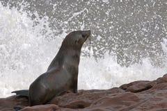 Lobo marino listo para zambullirse Fotografía de archivo libre de regalías