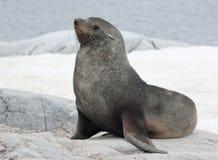 Lobo marino masculino que se sienta en una roca en la costa.