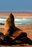 Lobo marino meridional Fotos de archivo
