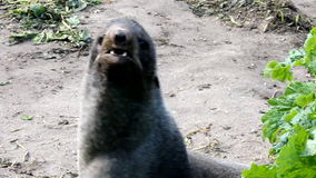 Lobo marino norteño (ursinus del Callorhinus) metrajes